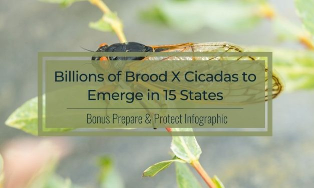 Billions of Brood X Cicadas to Emerge in 15 States | Infographic