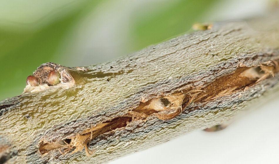 Brood X Cicadas Limb and Tree Damage